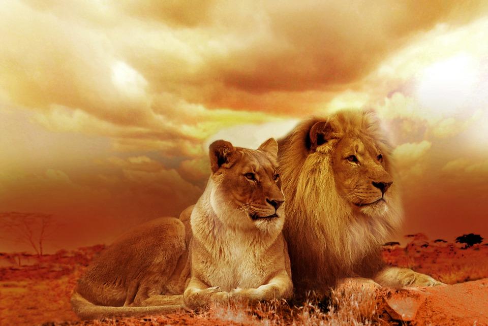 171022_l__we_neu_pixabay_lion-....jpg