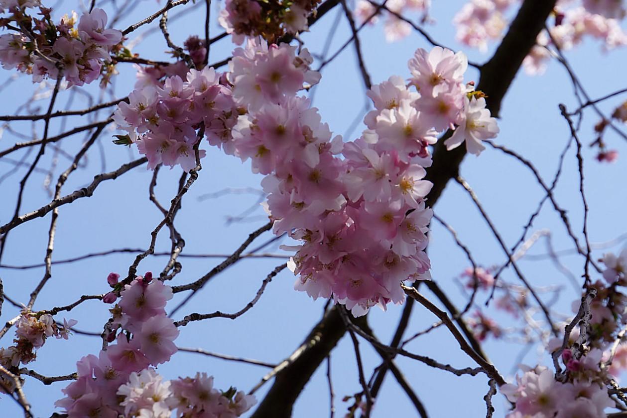 japanische_zierkirsche.jpg