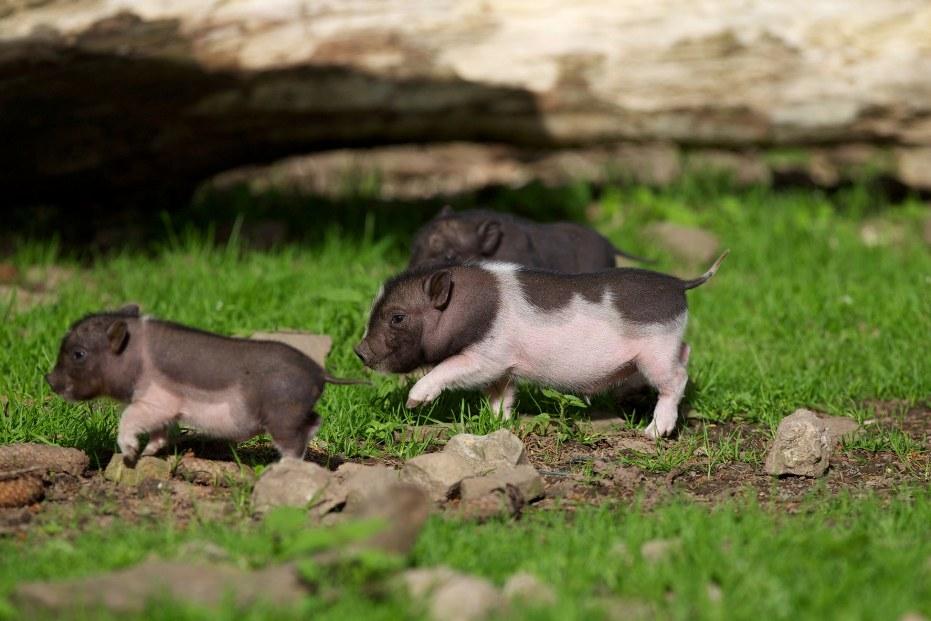 kleine_schweinchen.jpg