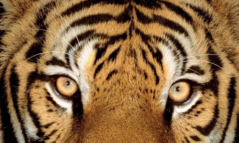 tigers_main_8.jpg