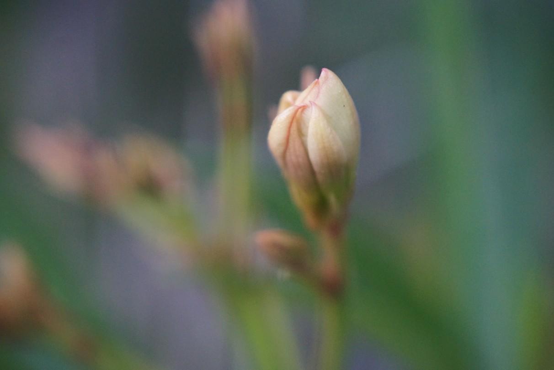 oleander_gelb.jpg