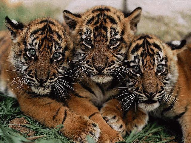 tiger_03_drei_kleine_tiger.jpg