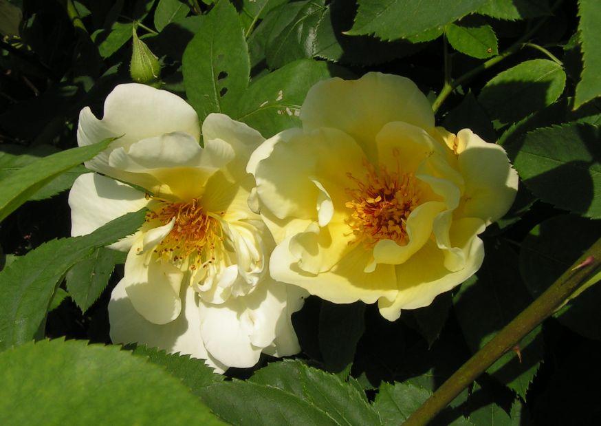 12_roseweiss.jpg