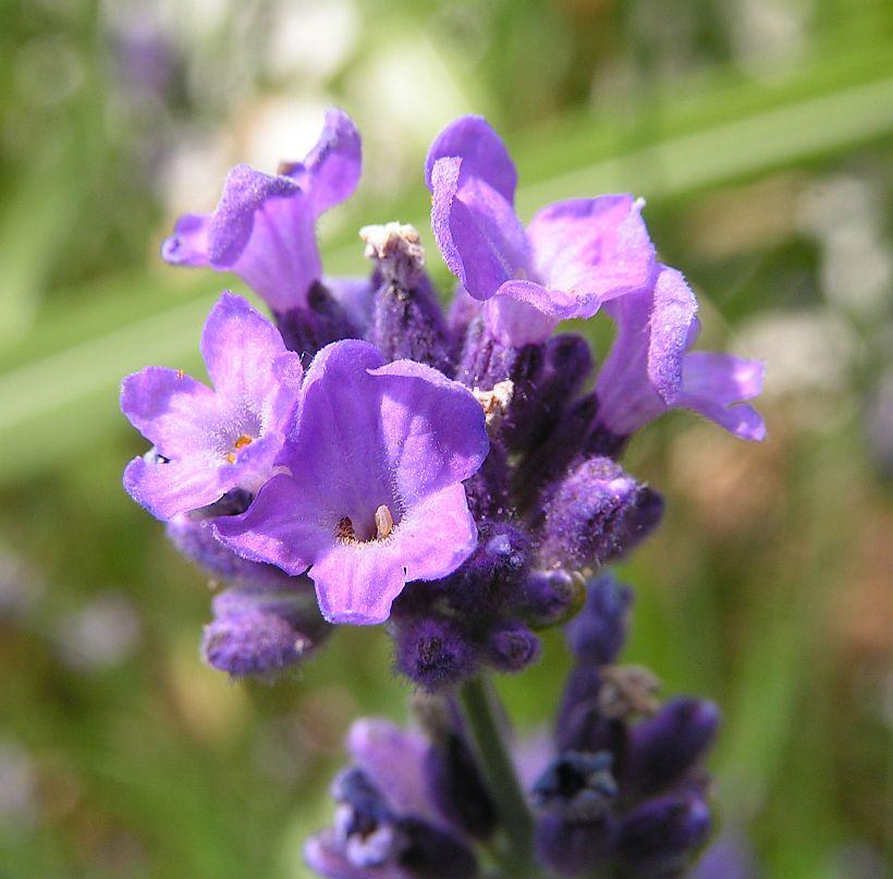 37_lavendel.jpg