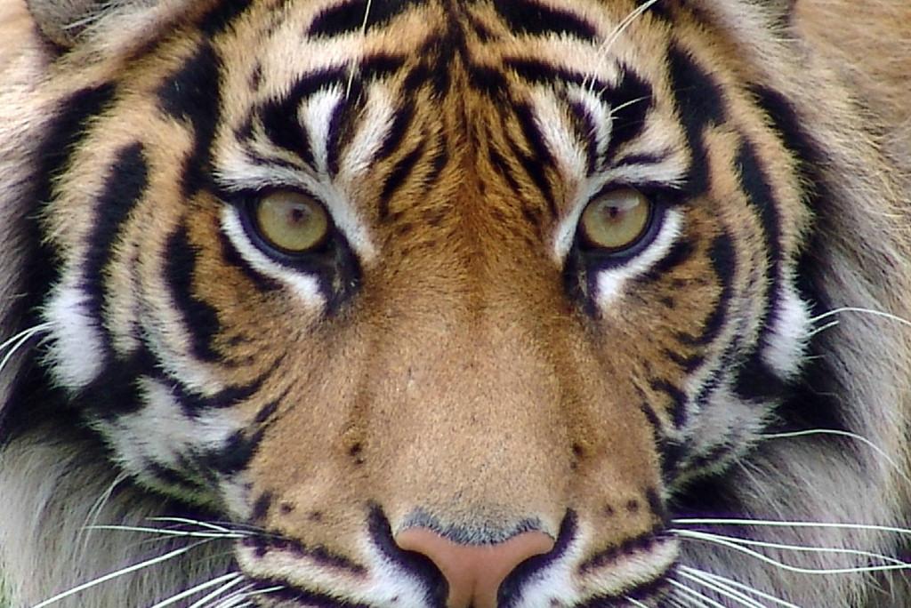 tiger_05_face.jpg