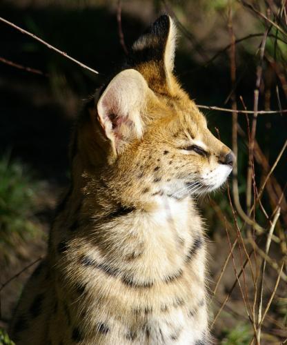 serval_01.jpg