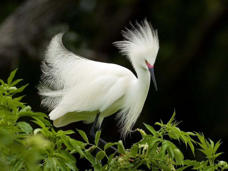 snowy_egret_in_breeding_plumage_florida-....jpg