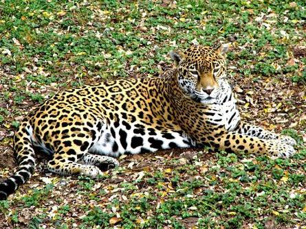 jaguar_10.jpg