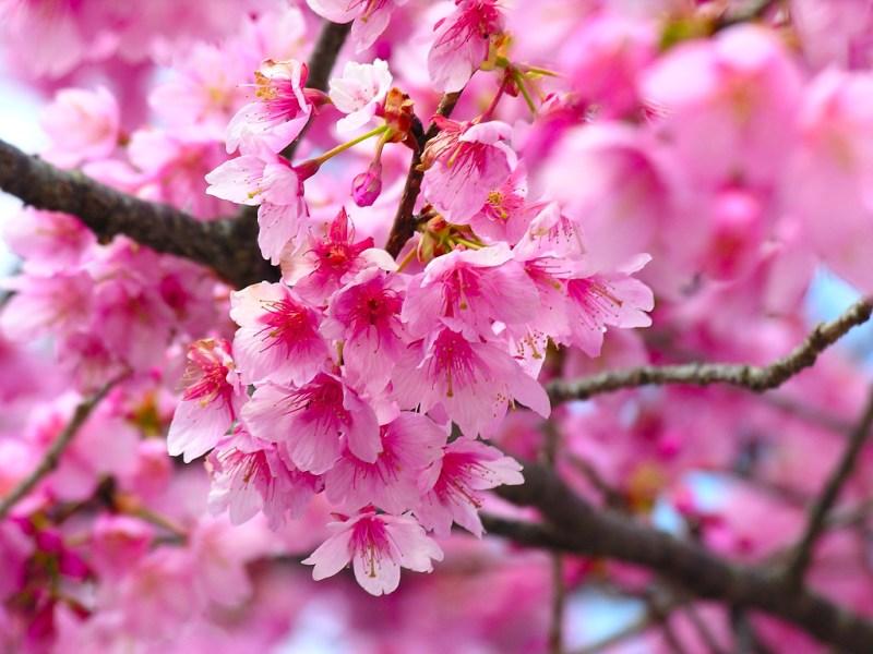 cherry-blossom-wallpapers_5438_1024x768.jpg