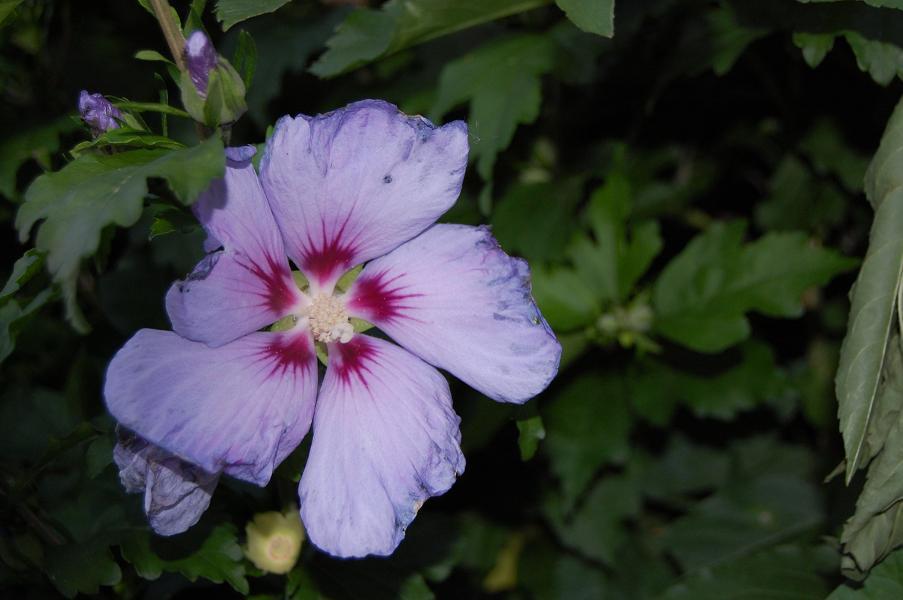 hibiscus(nachbarin).jpg