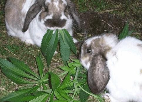 hasen-naschen-cannabis.jpg